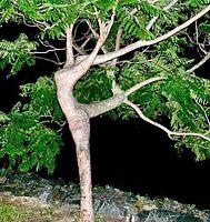 tree of dance